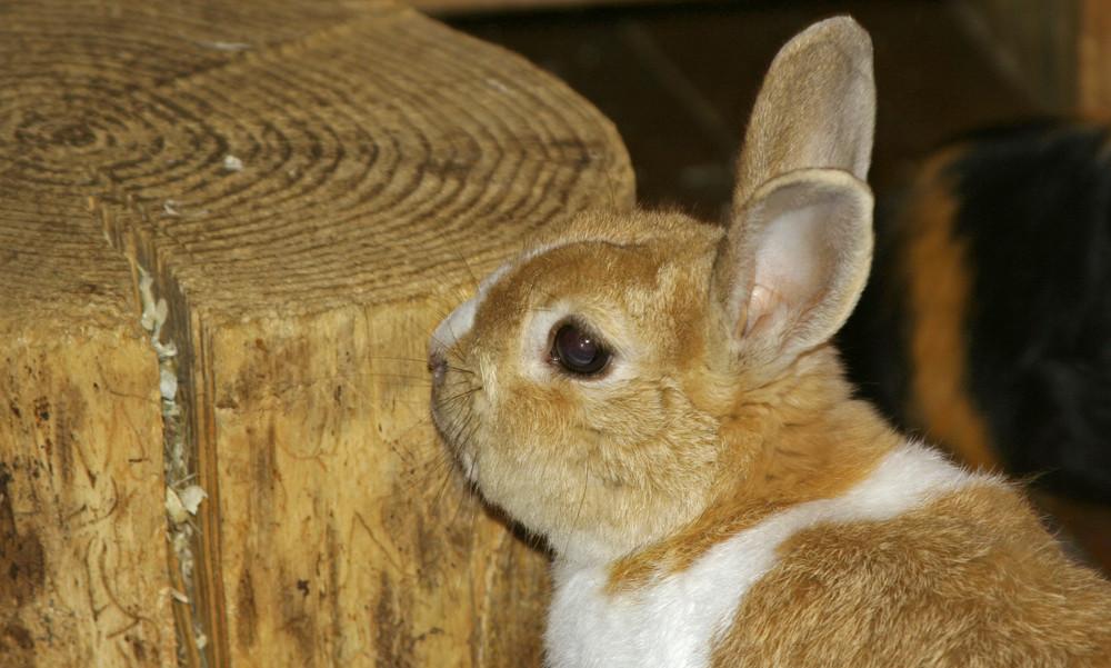 Kaninchenportrait