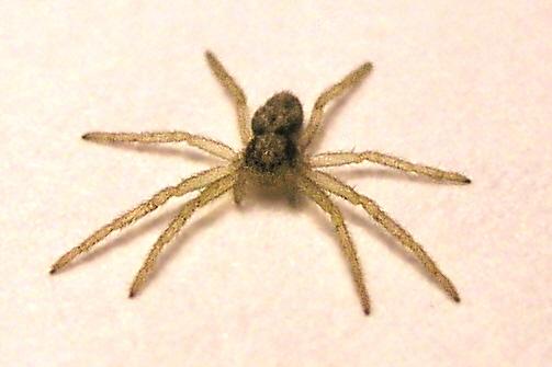 Kann mir jemand sagen, welche Spinne das ist?