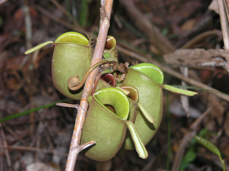 Kannenpflanzen in Malaysia