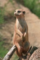 Kap-Borstenhörnchen