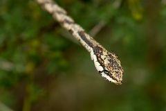 Kap-Vogelnatter - Twig snake (Thelotornis capensis)