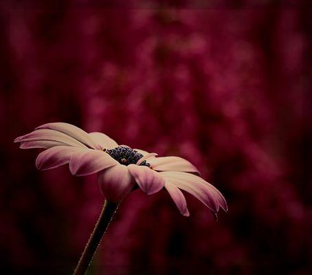 Kapkörbchenblüte im November