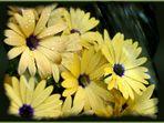 Kapkörpbchen - Kap-Ringelblume genannt (Dimorphotheca sinuata) - Danke @Othmar ;)