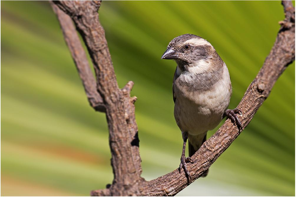 Kapsperling (Weibchen)