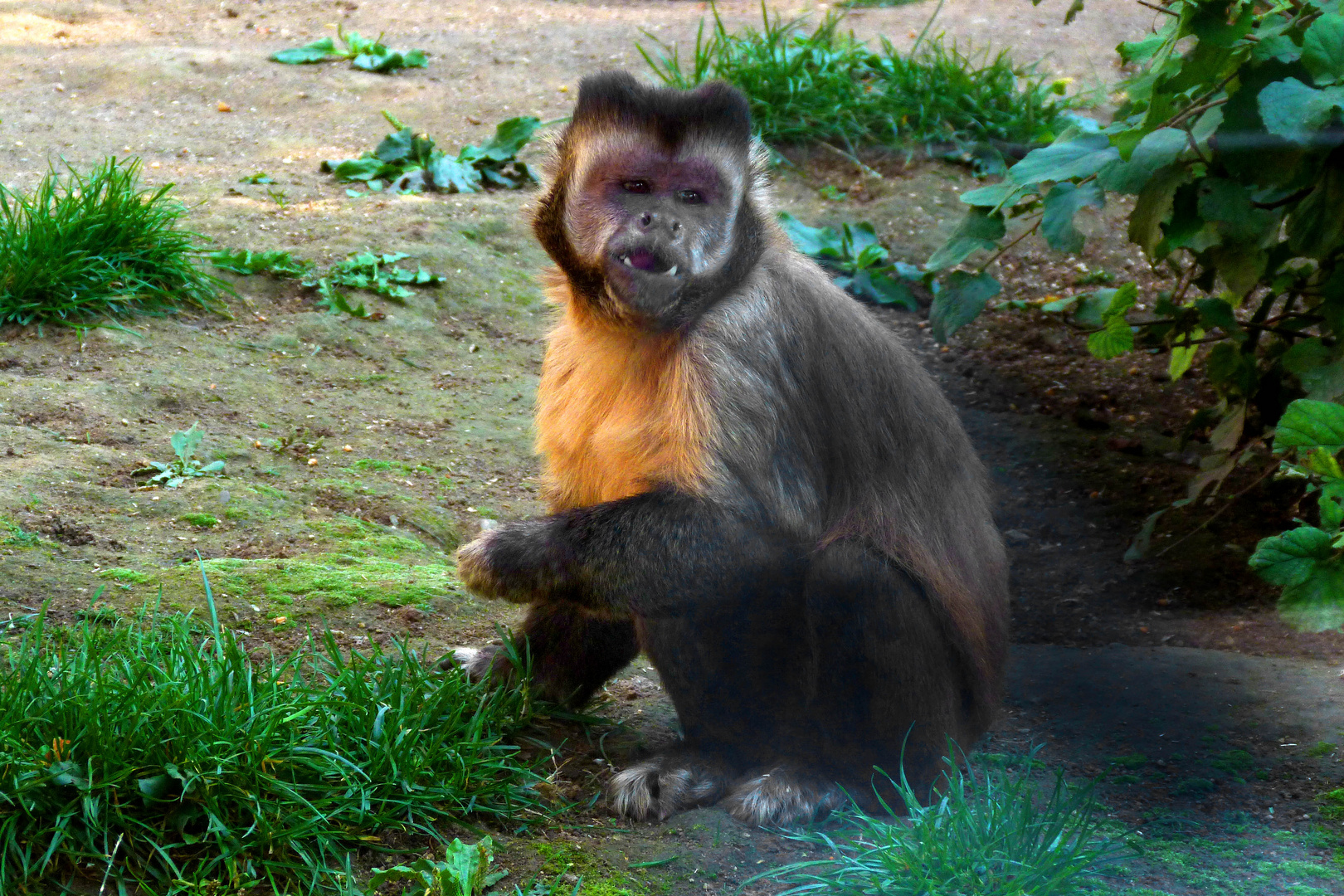 Kapuzineräffchen im Zoo Neuwied