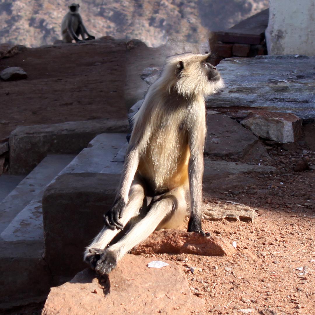Kapuzineraffe sitzend mit gestrecken Beinen