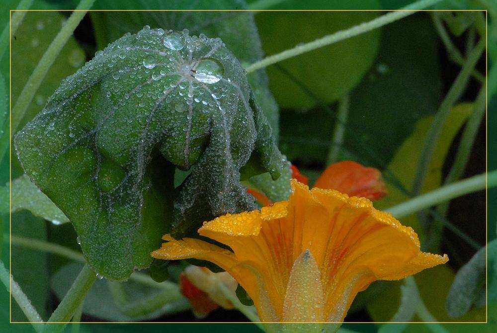 Kapuzinerkresse am Herbstmorgen (4)