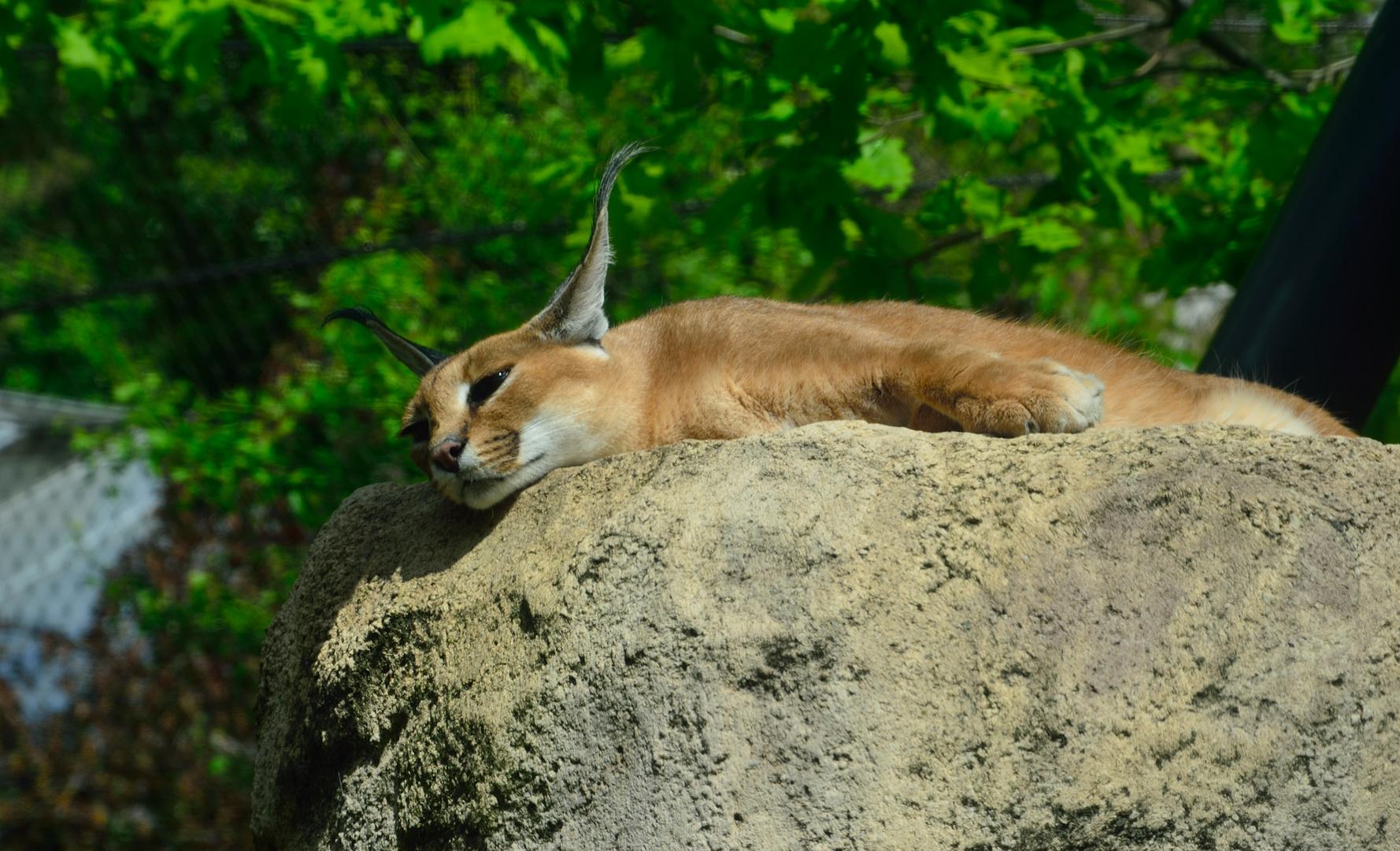 Karakal beim Mittagsschlaf