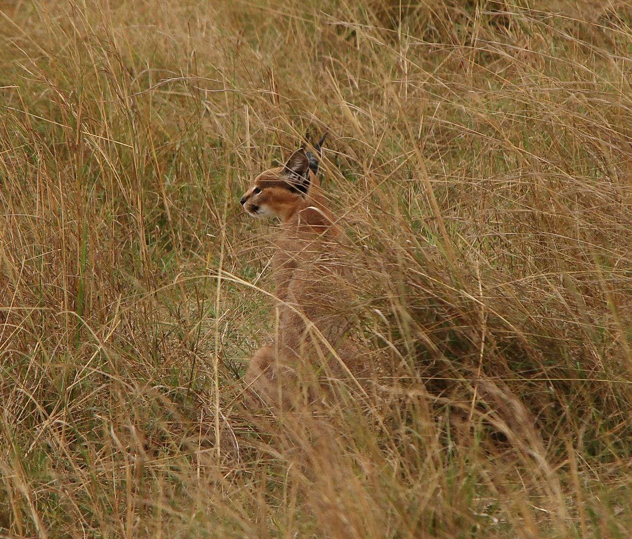 Karakal - Caracal caracal
