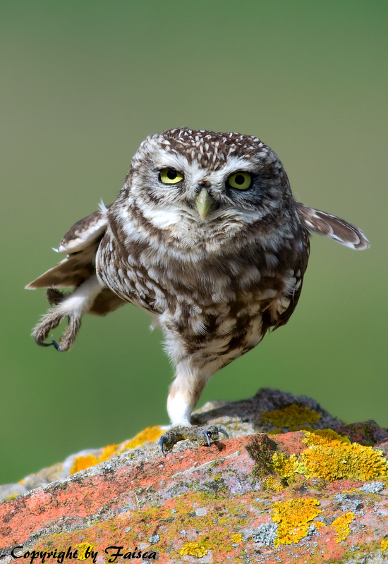 Karate Owl
