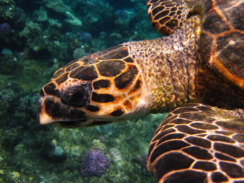 Karett-Schildkröte