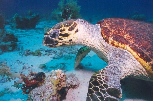 Karettschildkröte beim Mittagsmahl