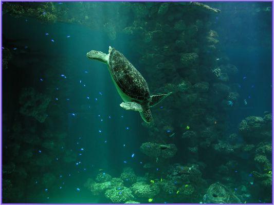 Karettschildkröte im Aquarium Stralsund