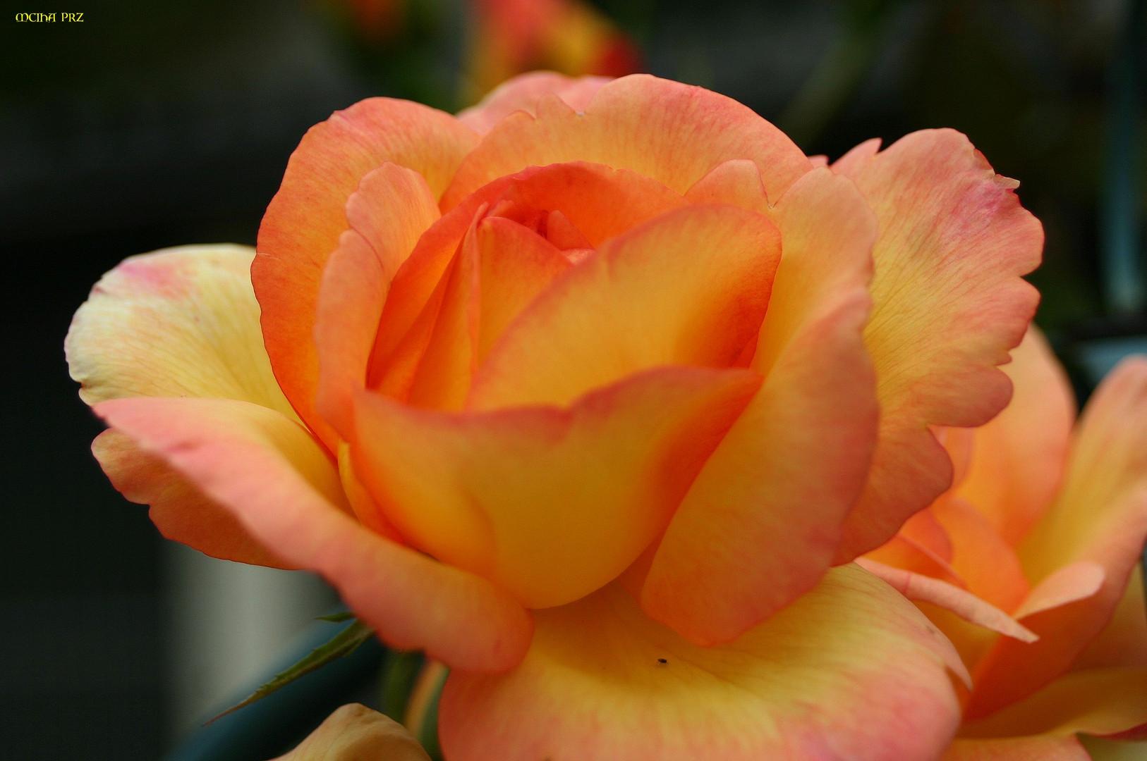 Karfreitags - Rose 2007