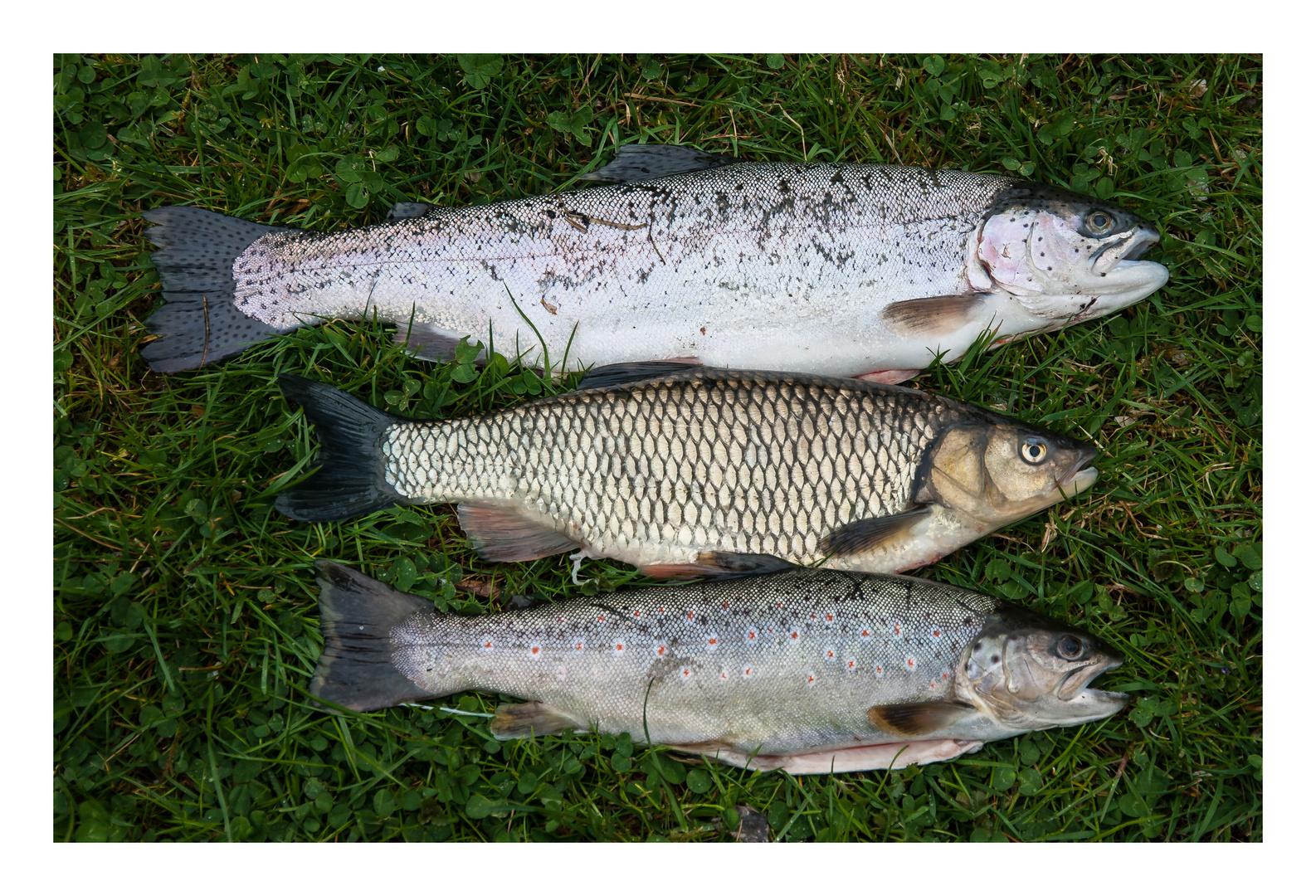 Karfreitagsfisch ...