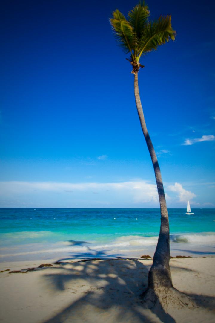 Karibische Palme