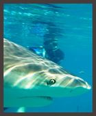Karibischer Riff-Hai