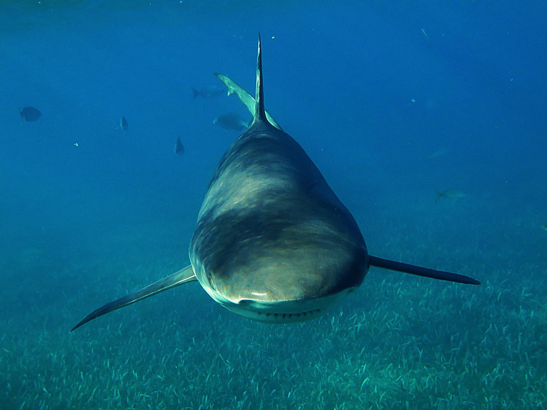 karibischer Riffhai 6