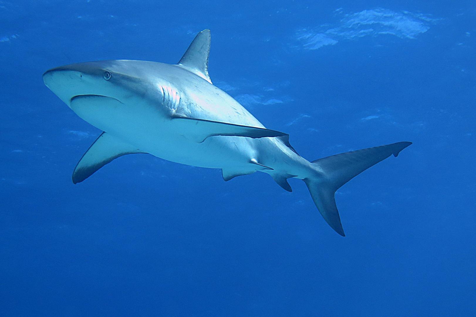karibischer Riffhai 7