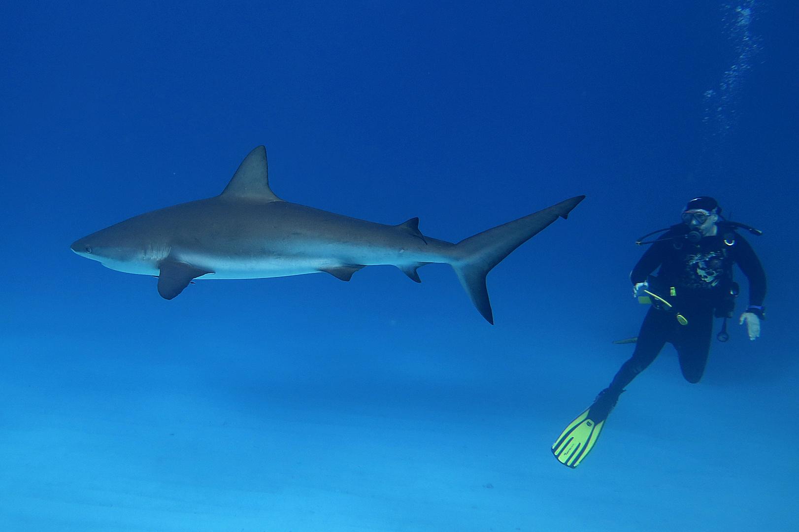 karibischer Riffhai mit Taucher