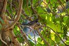Karibischer Vogel