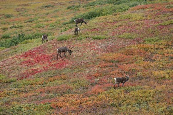 Karibus in Alaska - Natur/Pop-Art