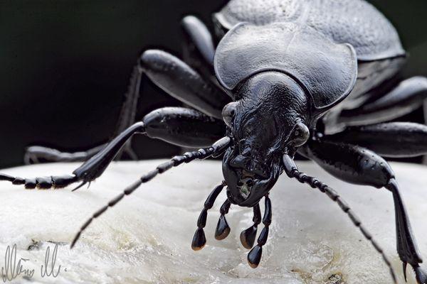 Karl der Käfer...