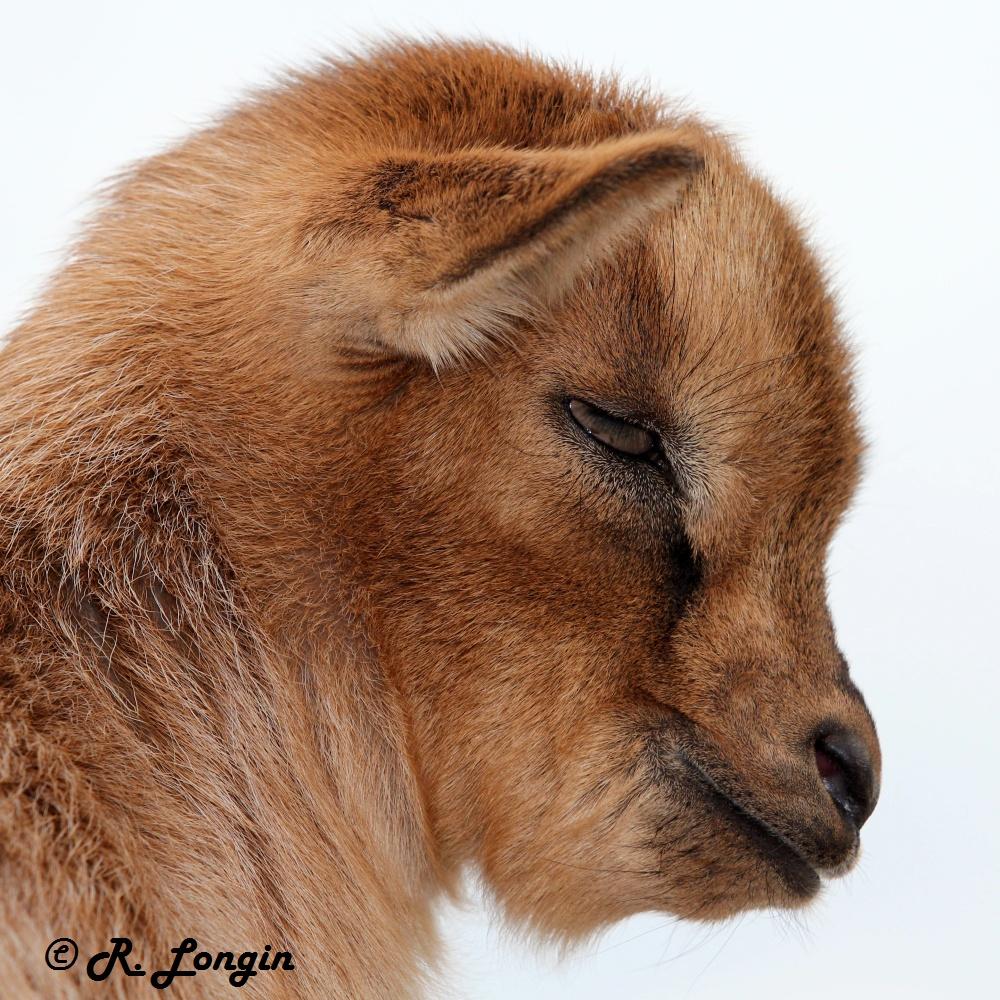 Karlsruher Zoo: 'Brownie' ist erst fast 2 Wochen alt, posiert aber wie ein 'alter Hase' ;-)