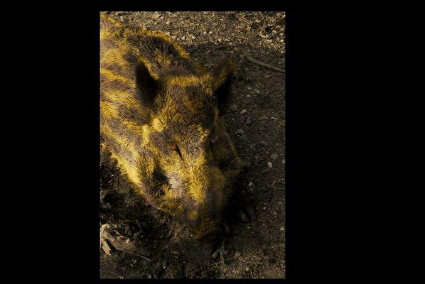 Karneval des Wildschweins