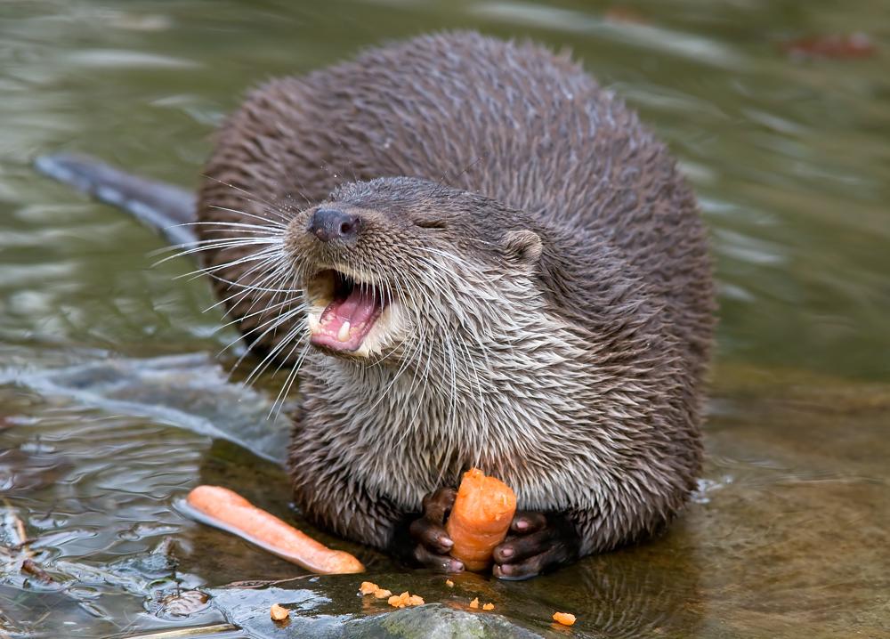 Karotten-Otter