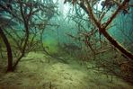 Karpfen blau im Frühherbst