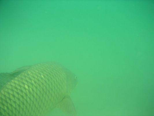 Karpfen im Badesee