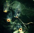 Karpfen im Rosensteinsee