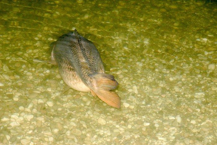 Karpfen im Wasser