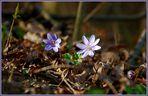 Karsamstags-Leberblümchen