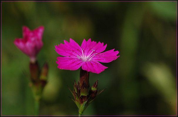 Karthäuser-Nelke (Dianthus carthusianorum)