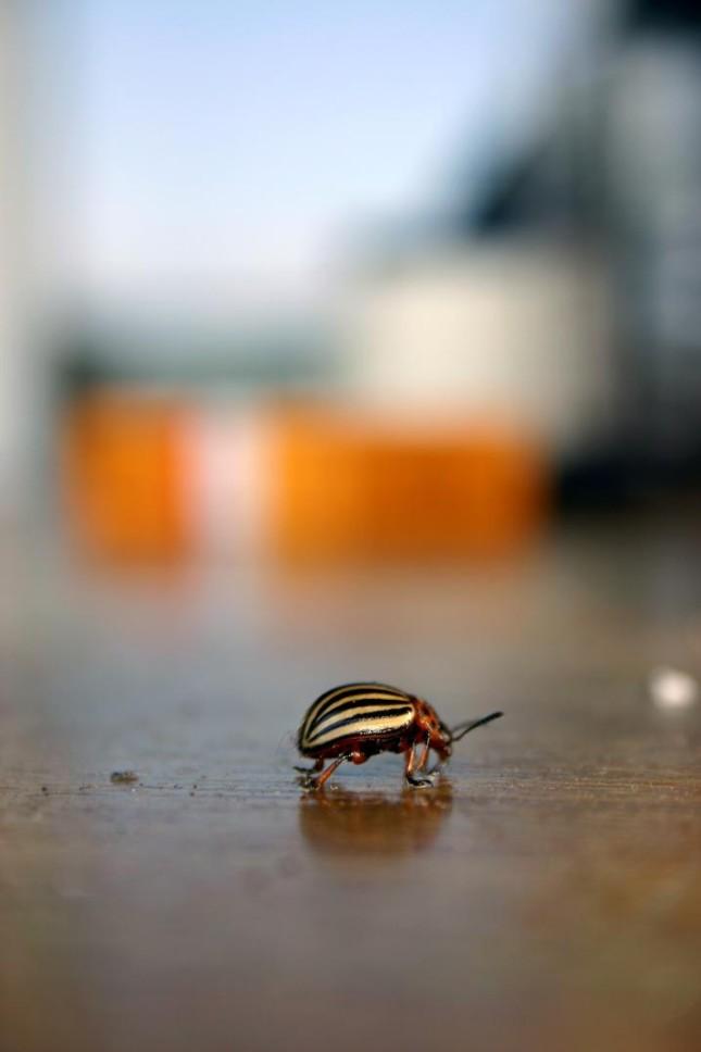 Kartoffel-Käfer