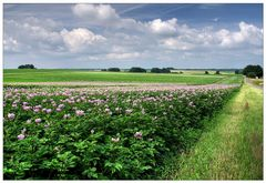 Kartoffelblüte in Niedersachsen