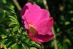 Kartoffelrose / Apfelrose (Rosa rugosa)