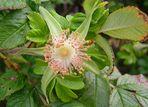 Kartoffelrose ohne Blütenblätter