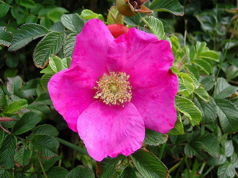 Kartoffelrose Rosa rugosa auf Sylt