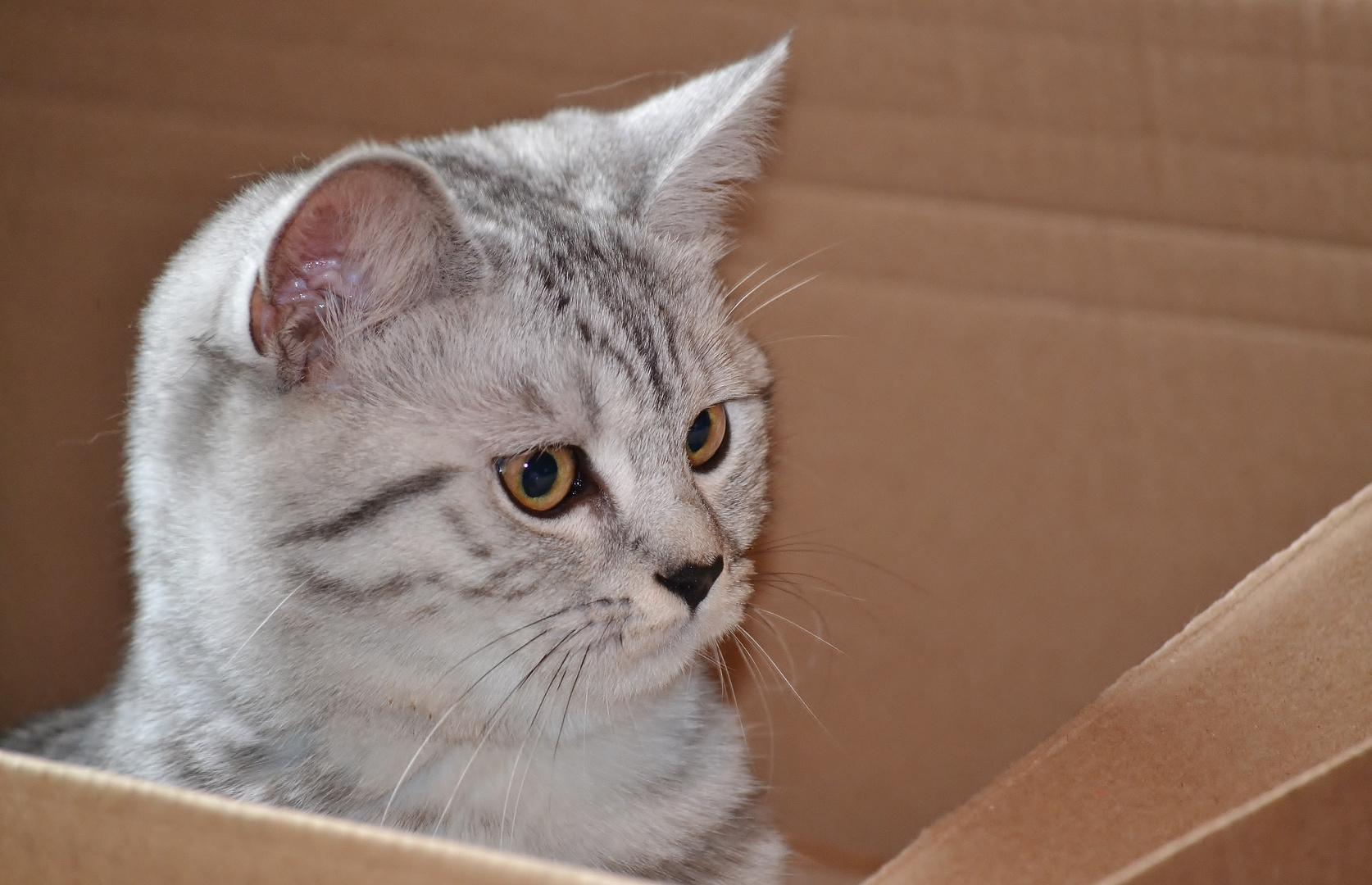 Karton-Katze