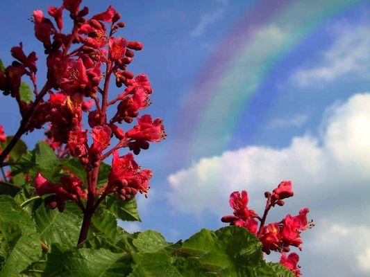 Kastananienbluten und Regenbogen am Himmel