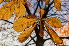 Kastanienbaum im Herbst