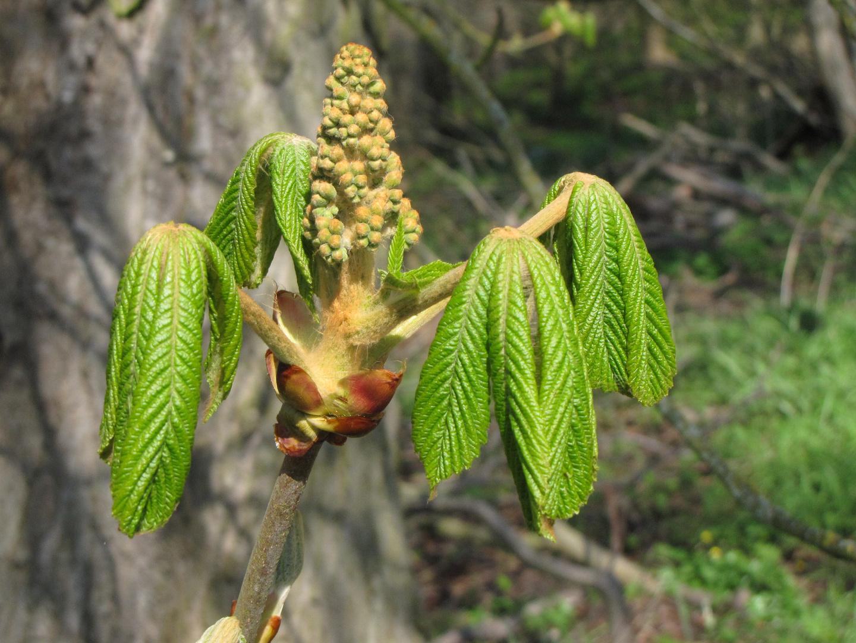 kastanienbaumblüte