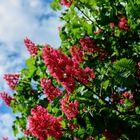 Kastanienbaumblüten