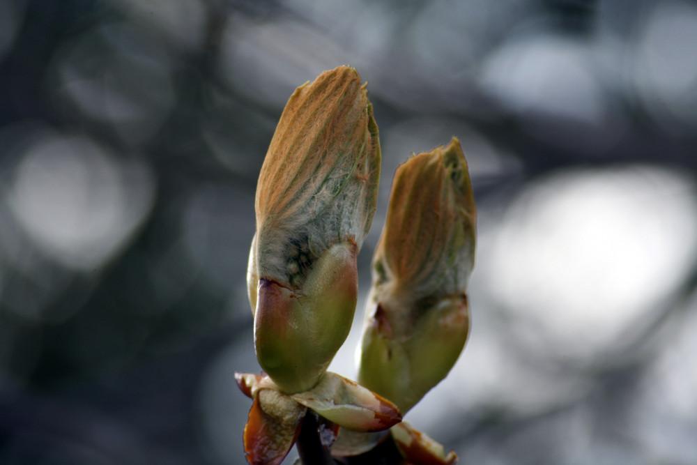 Kastanienblätter...