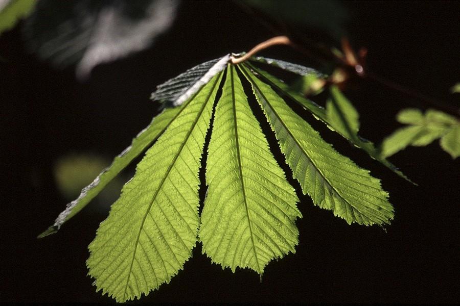 Kastanienblattfächer