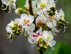 kastanienblütchen