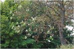 Kastanienblüte